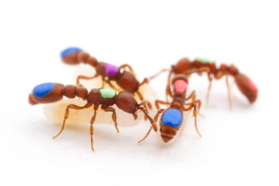 Worker ants were tagged with colored dots by researchers.