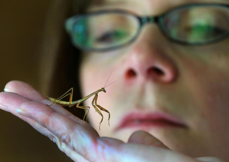 Christine Helie raised 200 baby praying mantises that she found in egg sacs in April.