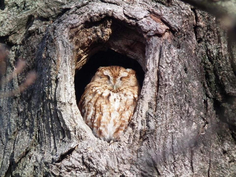 Timber the Eastern Screech-Owl's home is safe in Newburyport. Photo Credit: Nancy Smith
