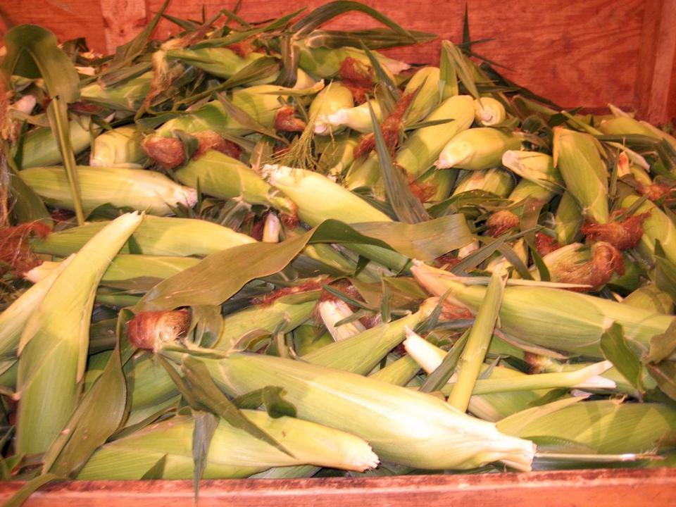 Ears of Montauk sweet corn at Sunshine Farm in Sherborn.