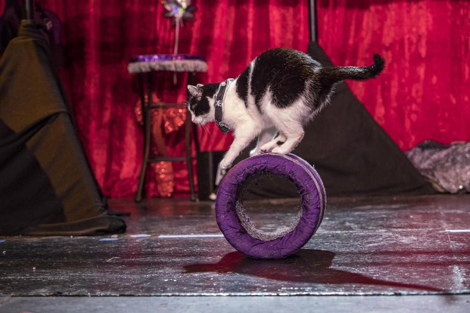 The Acro-Cats will perform through the weekend at the Regent Theatre in Arlington.