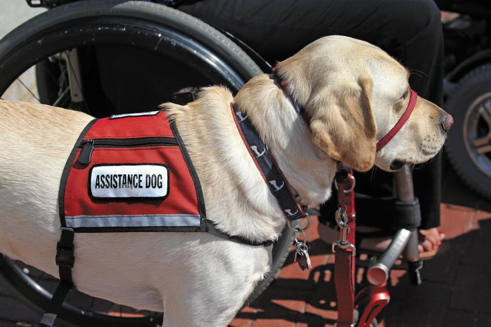 BOSTON, MA - 9/12/2017:One of the several dogs standing out in front of the State House, a contingent of NEADS Service Dog teams and others gathered to show support for House Bill 2277, an act relative to misrepresentation of service animal. (David L Ryan/Globe Staff ) SECTION: METRO TOPIC stand alone photo