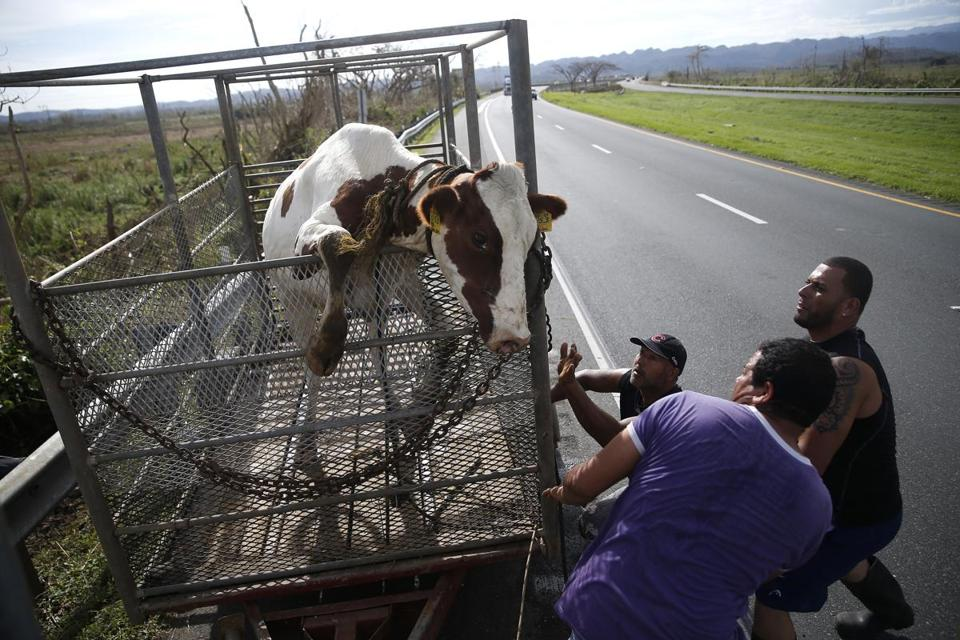 From left to right,  Jose Rosado, Alexi Crepo and Chiki Rivera reacted as a cow who got loose in Hurricane Maria that they rounded up tries to jump out of the trailer.