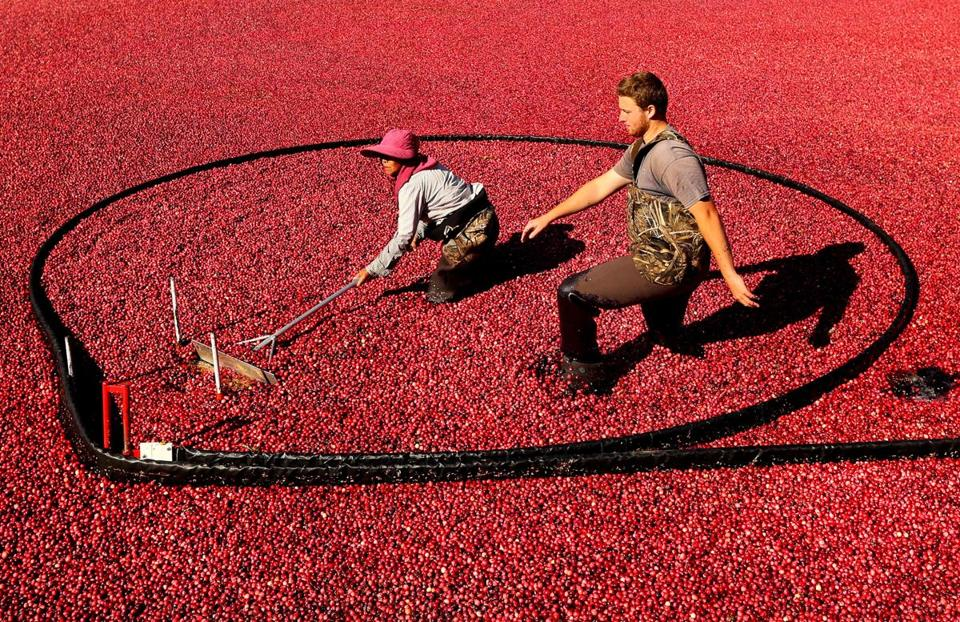 Cranberry harvest season is in full gear as Weston Cranberry Corp.