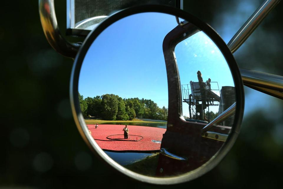 A tractor trailer truck's rear-view mirror reflected a cranberry bog being harvested on Main Street in Carver.