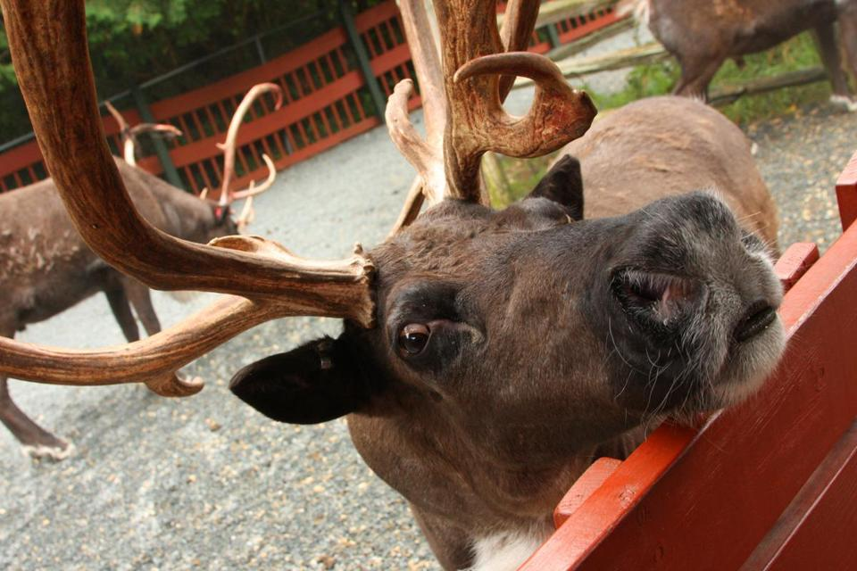 Visitors can get up close and personal with Santa's reindeer at Santa's Village.