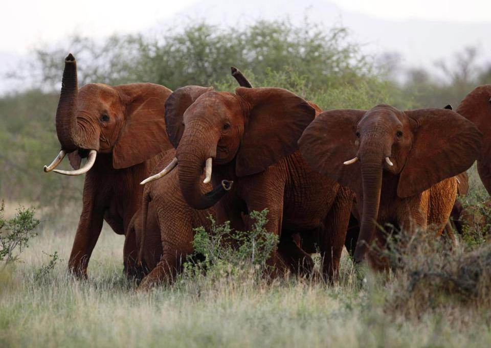 The Trump administration is lifting a ban on importation of body parts from African elephants shot for sport.
