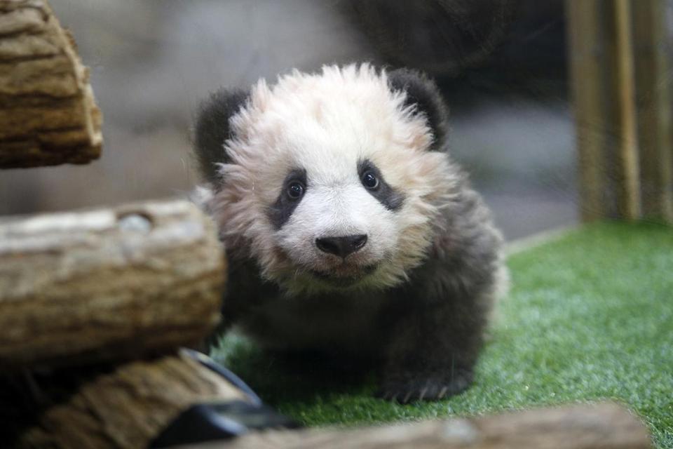 France's adorable newborn panda spooks 'godmother' Brigitte Macron