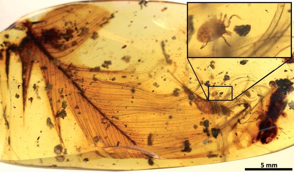 Scientists say this tick is on a dinosaur feather that is trapped in 99-million-year-old amber. The pesky bloodsuckers go way back, apparently.