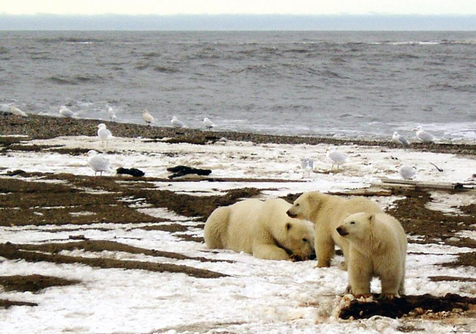The refuge has the largest number of polar bear dens in Alaska.