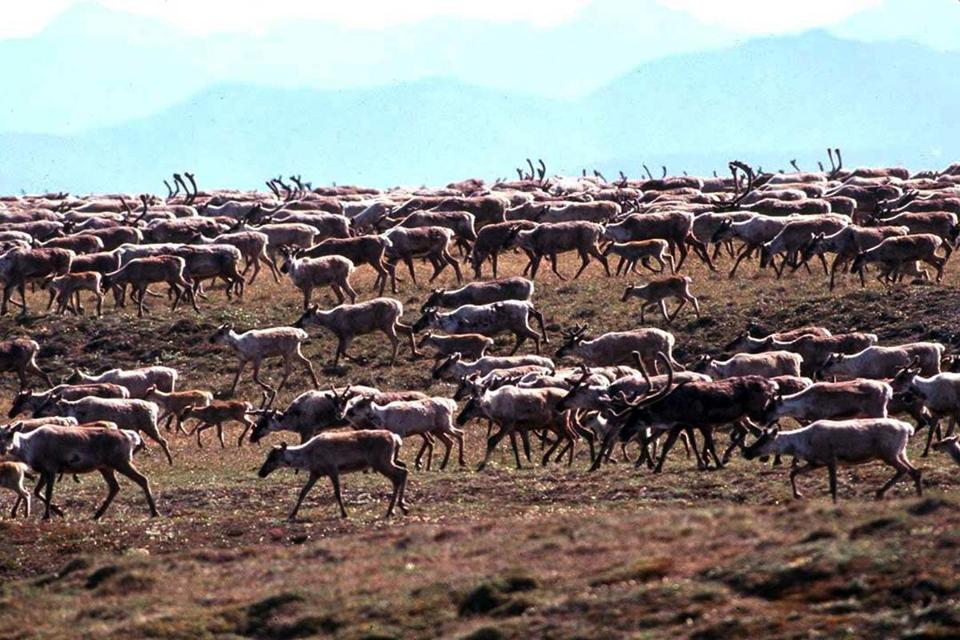 Caribou from the Porcupine Caribou Herd migrate onto the coastal plain of the Arctic National Wildlife Refuge in Alaska.