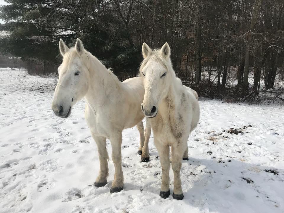 Arthur (left) and Prince at the Blue Star Equiculture draft horse sanctuary in Palmer, Mass.
