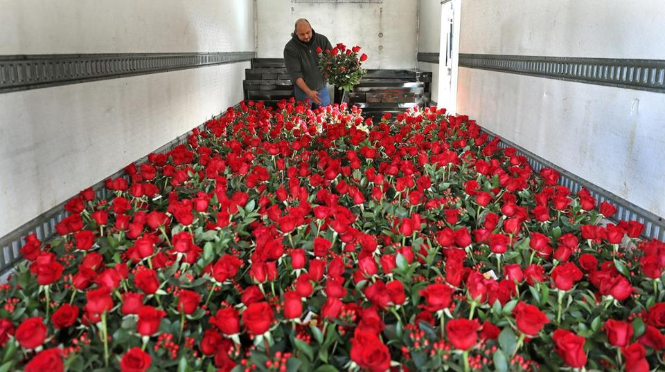 BOSTON, MA - 2/13/2018: Florists prepare for valentine's day -Telly Sanxaridis (cq) with Stapleton Floral Disign Boston moves roses in the back of a truck that has some 8000 ready to be delivered (David L Ryan/Globe Staff ) SECTION: METRO TOPIC 14florist