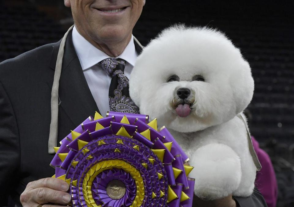 """Flynn"" the Bichon Frise, with handler Bill McFadden, posed after winning ""Best in Show"" at the Westminster Kennel Club 142nd Annual Dog Show in Madison Square Garden on Tuesday."