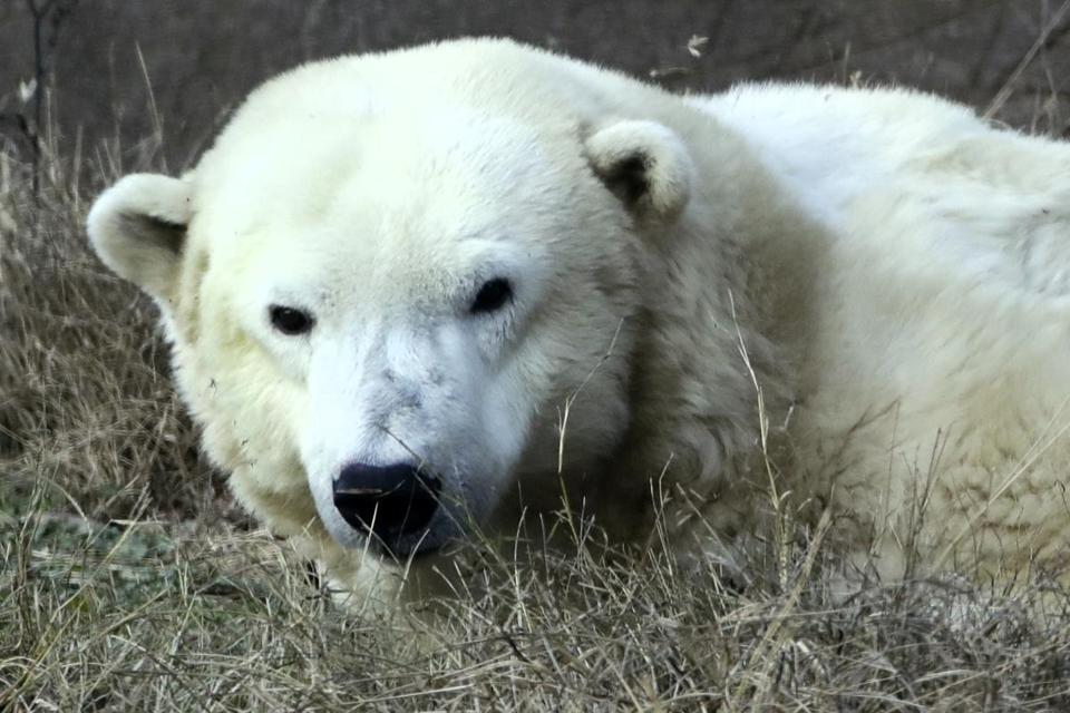 Coldilocks, the Philadelphia Zoo's beloved polar bear, is credited with bringing attention to global warming.