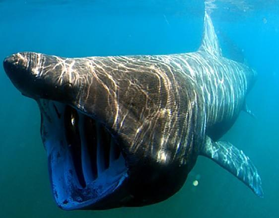 A basking shark.