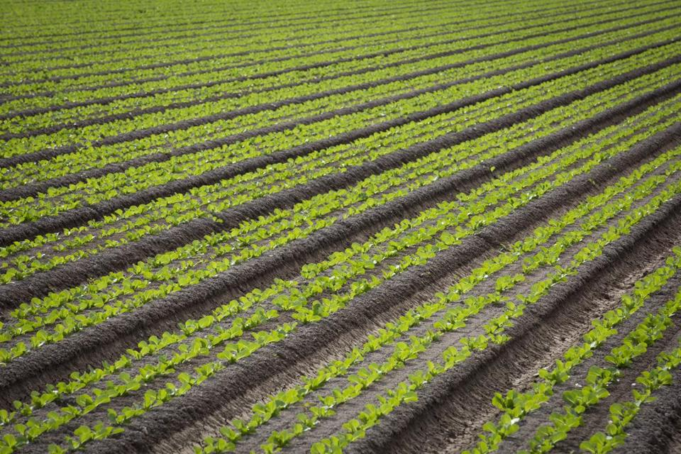 CDC: Throw out your romaine lettuce