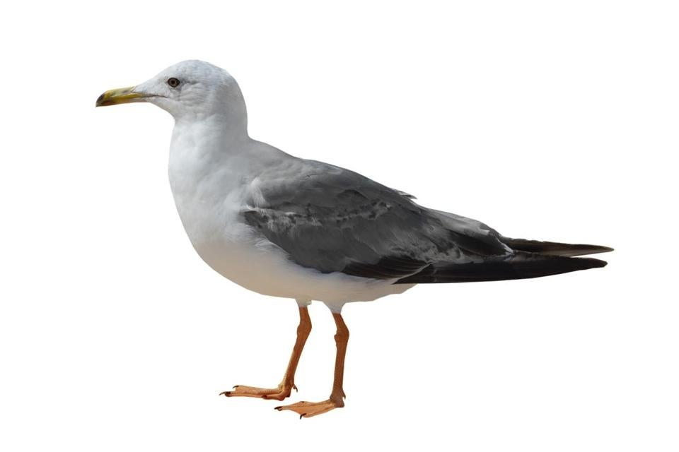 Great Black-backed Gull (Larus marinus)on a white background