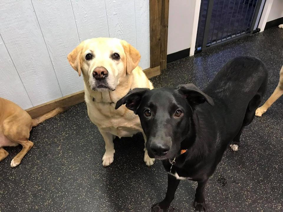 Chief (left), a yellow lab, was inside a parked SUV that was stolen from an East Boston parking lot Sunday morning.