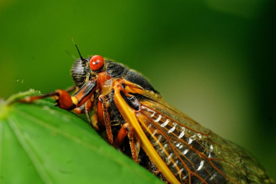 A seventeen-year Brood II cicada from when the group emerged in Virginia in 2013.