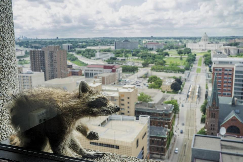 A raccoon rested on the window sill of a law firm on the 23rd floor of the UBS Tower in St. Paul, Minn.