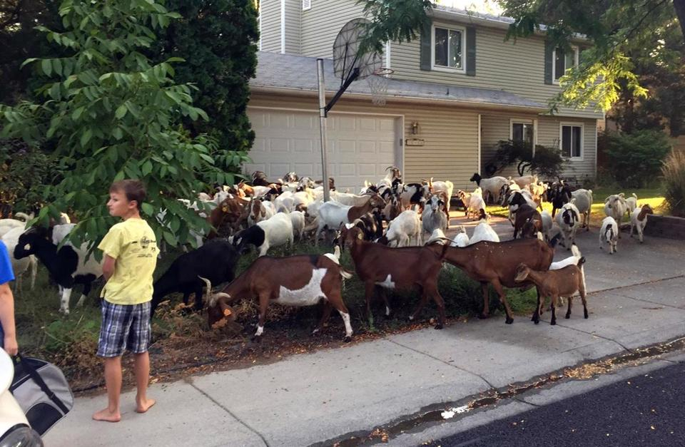 New kids on the block: 118 hungry goats descend on neighborhood