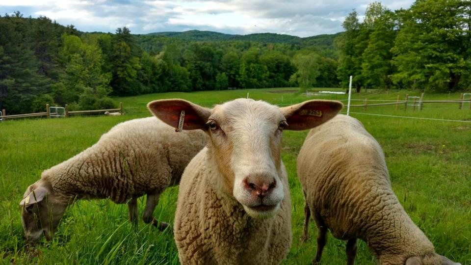 Some of the sheep at Fat Sheep Farm & Cabins in Hartland, Vt.