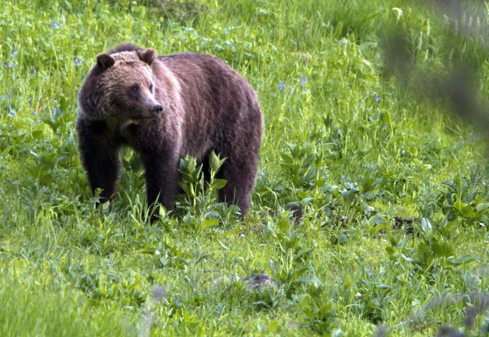 Griz hunt is off, bears back on Endangered Species List