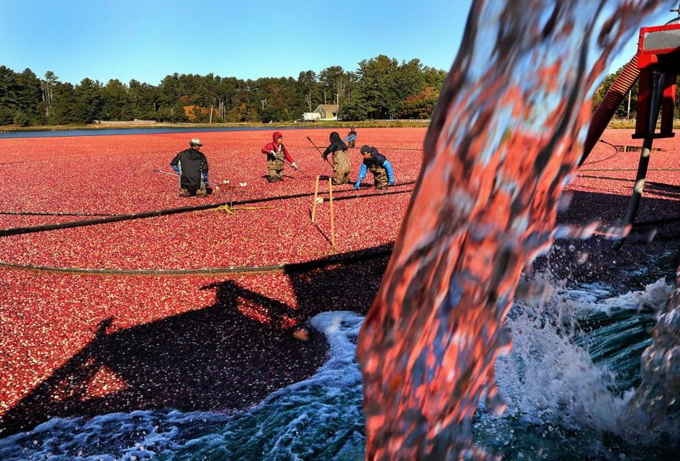 Carver-10/19/18 From September 15 until November 15, the A.D. Makepeace Company harvests cranberries at their 1700 acres of bogs throughout the South Shore, including the 250 acres of cranberry bogs on Pond Street. Water pours from a wash truck where debris is removed from the cranberries before dropping into a shipping truck. Most of the workers are immigrants who are hired for the seasonal work. Eighteen tractor trailer truckloadshaul away the cranberries from the Pond Street bog. Photo by John Tlumacki/Globe Staff(metro)
