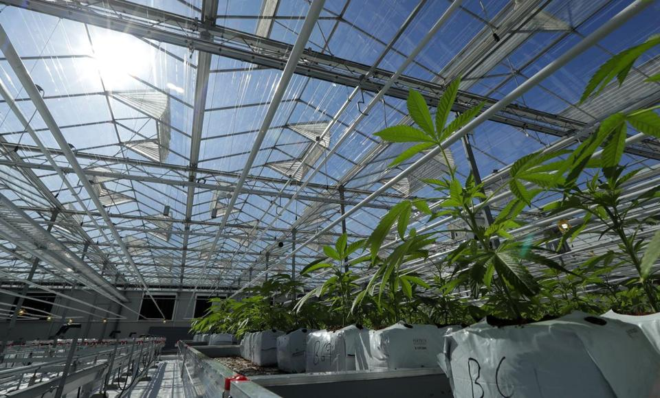 FILE - In this Sept. 25, 2018, file photo, marijuana plants are shown growing in a massive tomato greenhouse being renovated to grow pot in Delta, British Columbia, that is operated by Pure Sunfarms, a joint venture between tomato grower Village Farms International, and a licensed medical marijuana producer, Emerald Health Therapeutics. China has become the latest Asian country to warn its citizens in Canada about marijuana after it was legalized for recreational use there. (AP Photo/Ted S. Warren, File)