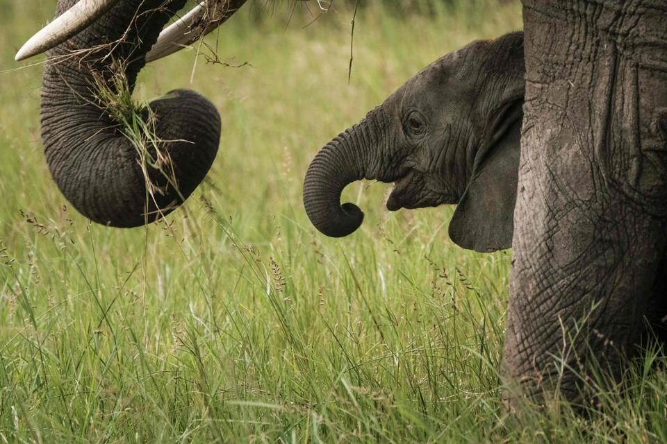 "(FILES) This file photo taken on January 24, 2018 shows an elephant calf grazing in the Mara Triangle, the north western part of Masai Mara national reserve managed by Non profit organization Mara Conservancy, in southern Kenya. - ""Runaway consumption"" has decimated global wildlife, triggered a mass extinction and exhausted Earth's capacity to accommodate humanity's expanding appetites, the global conservation group WWF warned on October 30, 2018. (Photo by Yasuyoshi CHIBA / AFP)YASUYOSHI CHIBA/AFP/Getty Images"