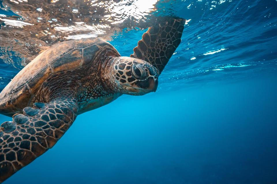 Turtle underwater touching water surface with flipper, closeup portrait on blue water background