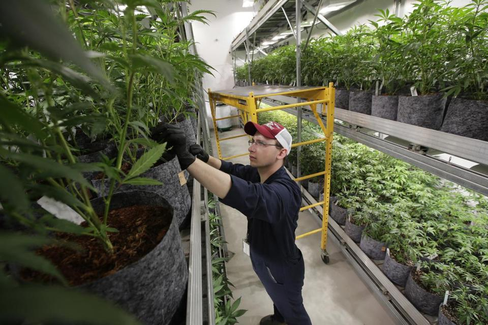 FILE - In this July 12, 2018, file photo head grower Mark Vlahos, of Milford, Mass., tends to cannabis plants, at Sira Naturals medical marijuana cultivation facility, in Milford, Mass. The legal marijuana industry exploded in 2018, pushing its way further into the cultural and financial mainstream in the U.S. and beyond. (AP Photo/Steven Senne, File)