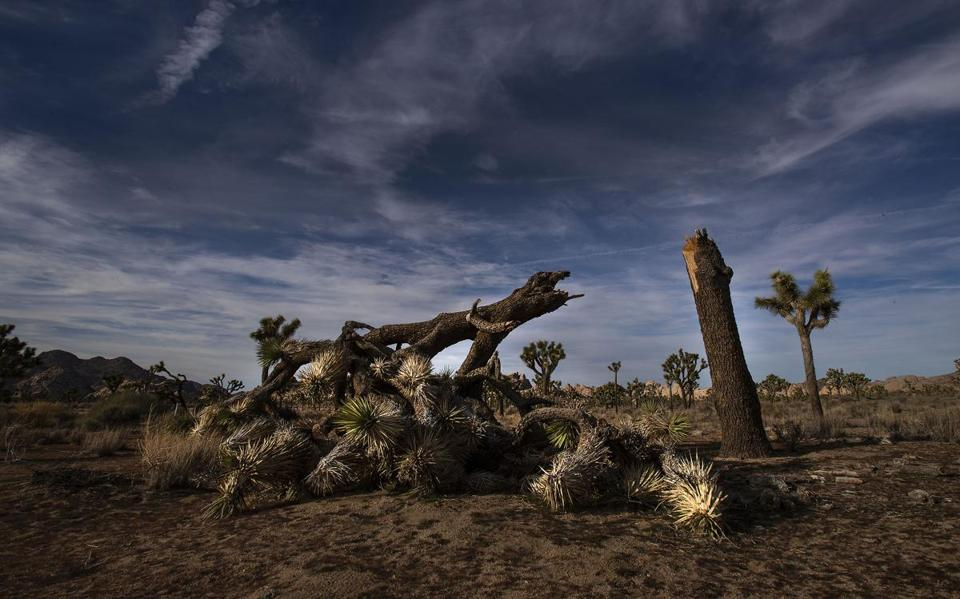 JOSHUA TREE, CA - JANUARY 8, 2019: A once vibrant Joshua Tree has been severed in half in an act of vandalism in Joshua Tree National Park on January 8, 2019 in Joshua Tree, California. The park may temporarily close on Thursday because of the government shutdown. (Gina Ferazzi/Los AngelesTimes) MUST CREDIT