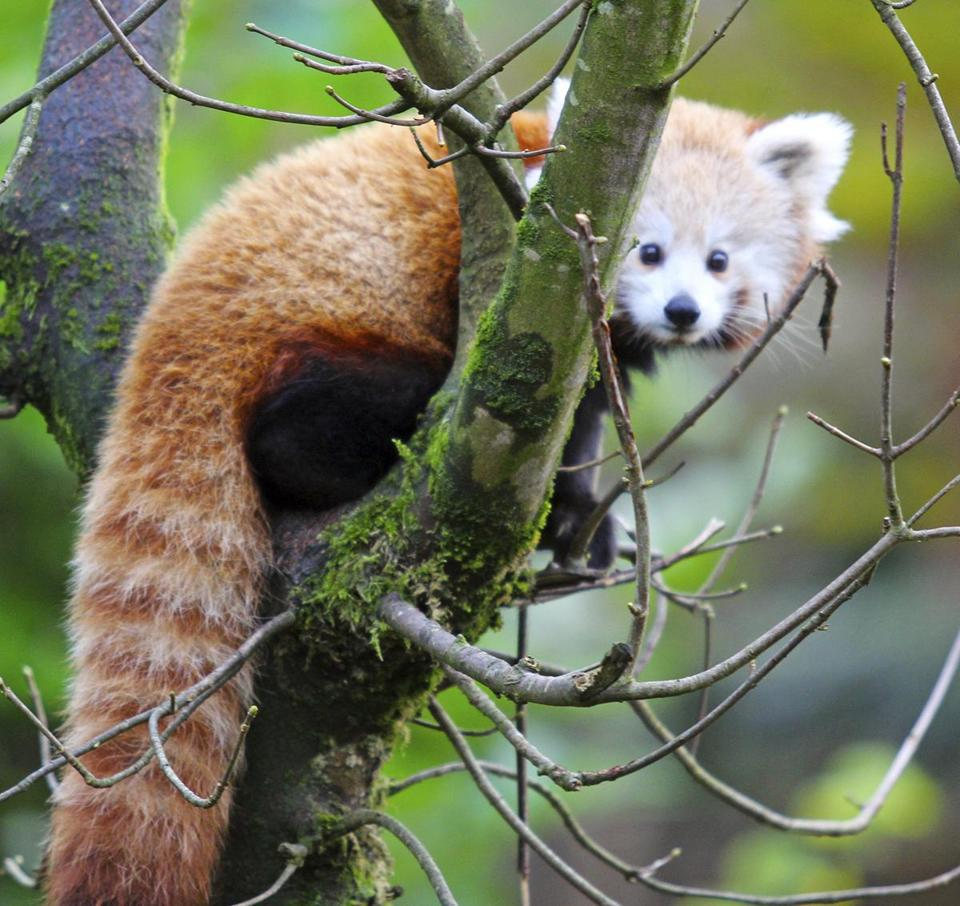 Red panda escapes Belfast Zoo