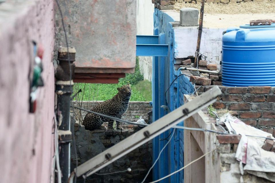Four injured after leopard strays into residential area in India