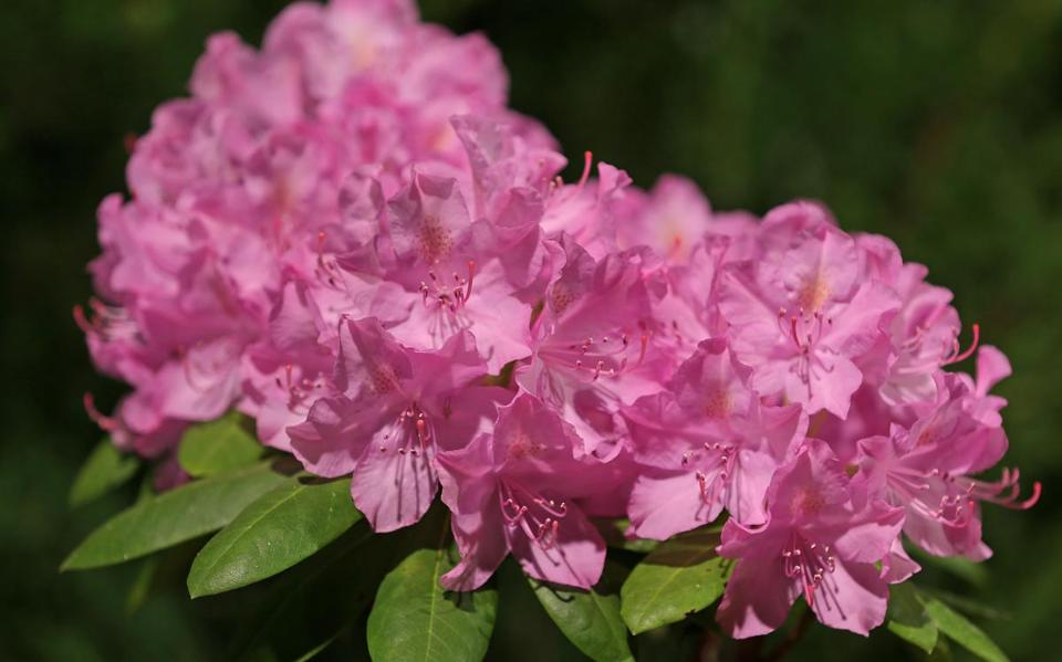 "BOSTON, MA - 3/12/2019: Azalea, Rhododendron ""English Roseum""..... Boston Flower & Garden Show that opens on March 13th-17....a touch of springtime indoors at the Seaport World Trade Center in Boston. (David L Ryan/Globe Staff ) SECTION: METRO TOPIC stand alone photo"