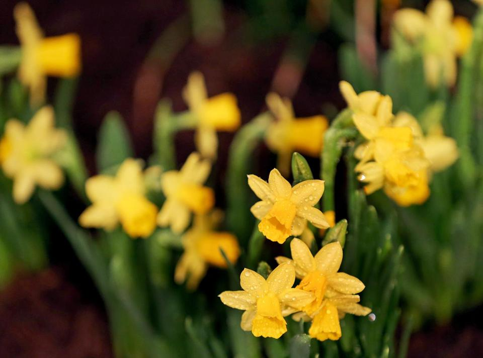 BOSTON, MA - 3/12/2019: Daffodil..... Boston Flower & Garden Show that opens on March 13th-17....a touch of springtime indoors at the Seaport World Trade Center in Boston. (David L Ryan/Globe Staff ) SECTION: METRO TOPIC stand alone photo