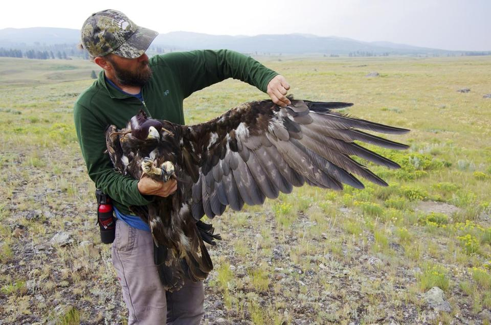 An unidentified scientist with a golden eagle, the first golden eagle to be fitted with a tracking device in Yellowstone National Park, Wyo.