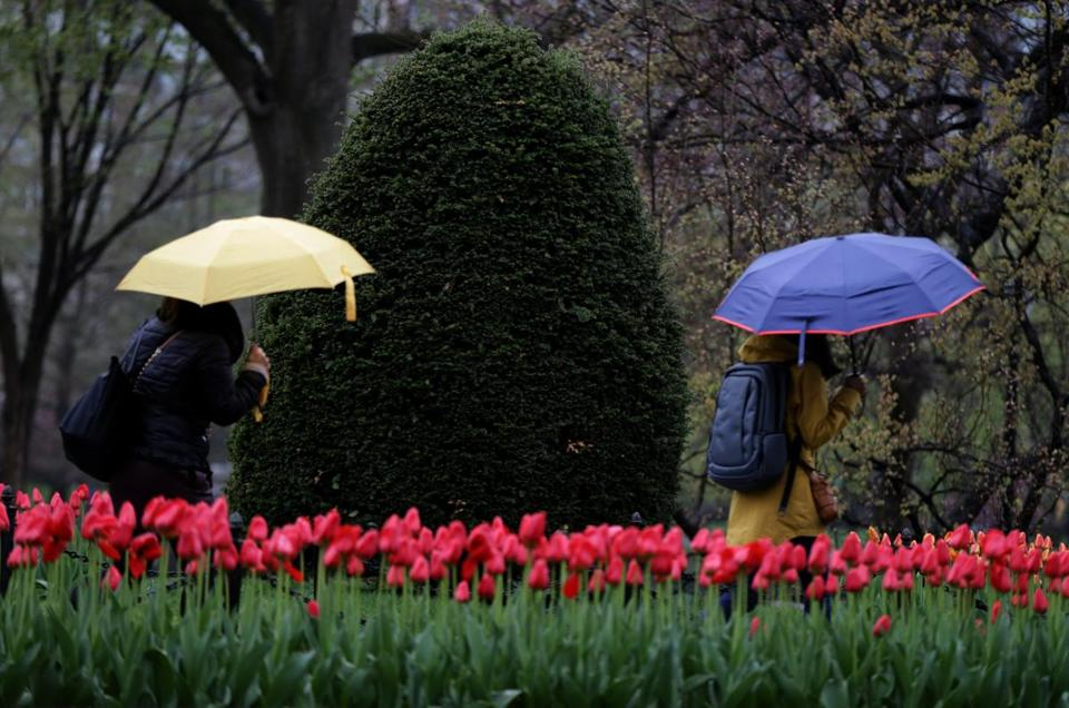 Pedestrians with umbrellas walked by tulips beginning to bloom during a light morning rain in the Boston Public Garden.