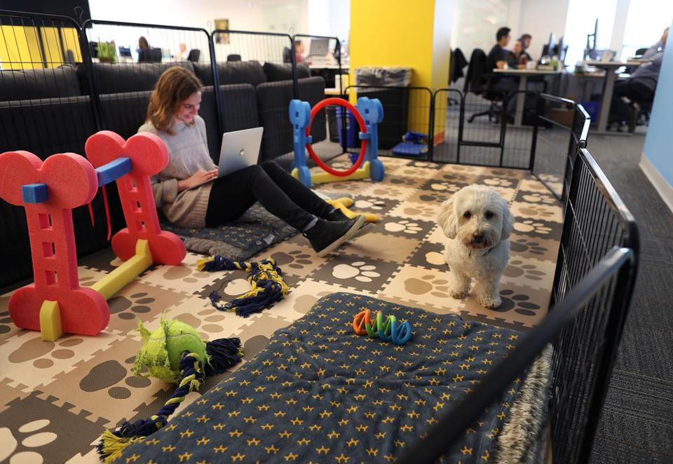 Boston-05/01/2019 Embark is a dog DNA testing company where workers take their dogs ro work. Annabel Greenberg, associate production manager works on her laptop in the playpen with Aussie. Photo by John Tlumacki/Globe Staff(business)