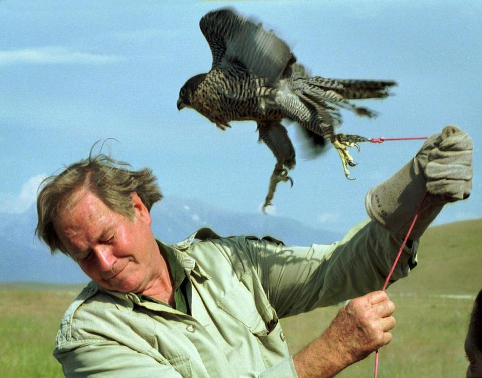 Mr. Fowler ducked to avoid being battered by a peregrine falcon at the National Bison Range near Missoula, Mont.