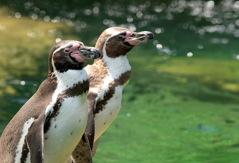 Homosexuality has been observed in a number of species of animals, who tend to have fewer hang-ups than humans. But gay penguins seem to be unusually prominent in the world of animal homosexuality.