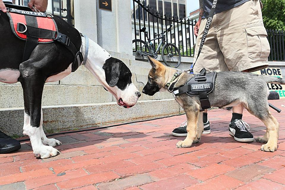 Two service dogs, Syd (left) and Luna, meet in front of the State House on June 12.