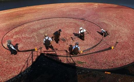 Workers from the A.D. Makepeace Co. harvested cranberries in Wareham.
