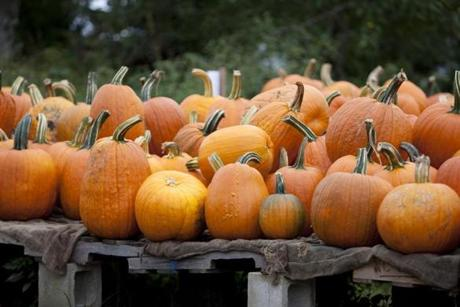 Pumpkins for sale at Ward's Berry Farm.
