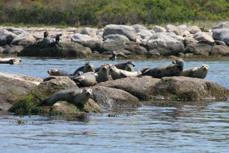 Project Oceanology runs winter seal watches on weekends through March.