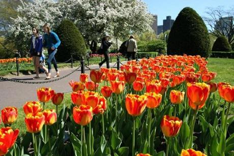 Tulips in bloom graced the Public Garden.