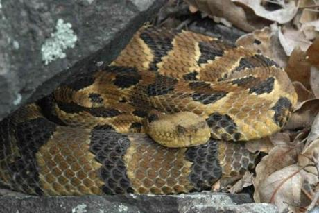 A healthy timber rattlesnake shows no signs of fungus.