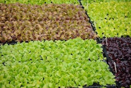 A variety of lettuce wait to be planted on Coll Walker's farm.